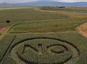 agricultores siguen pidiendo transgénicos