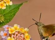 esfinge colibrí
