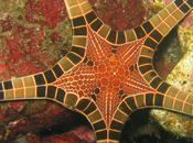 ¿Una estrella parece mosaico? Iconaster longimanus