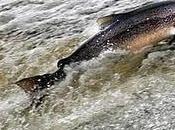 vida salmón