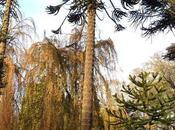 Araucaria araucana Sewerby Hall Gardens