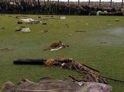 Aparece enorme bacalao campo golf Gales
