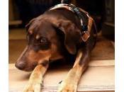 factores riesgo artritis perros