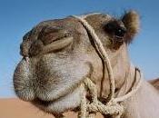 camellos Tenerife