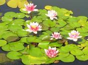 Cómo actúan plantas acuáticas para piscinas
