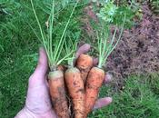 Cultivo zanahorias invierno