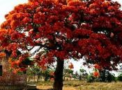 Acacia rubra