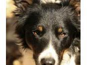 Border Collie buen perro para familia?