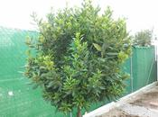 Planta aromatica: Cultivo laurel.