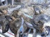 Carta blanca para matar lobos Picos Europa
