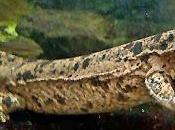Salamandras gigantes (II)