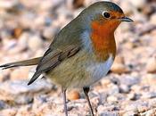 Petirrojo (Erithacus rubecula Aragón European Robin