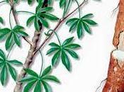 Yuca transgénica alto contenido vitamina