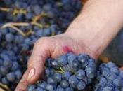 Uvas tintas utilizadas vinos españoles maridajes