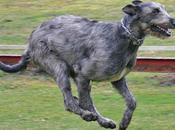 razas perros grandes