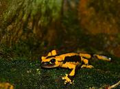 salamandras fuego: mitos, leyendas supersticiones sobre animal inofensivo