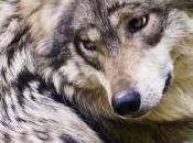 Animal peligro extinción: Lobo gris mexicano (Canis lupus baileyi)