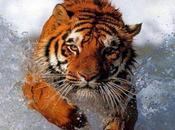Sobre tigres busardos