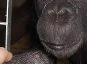 gobierno español veta grandes simios