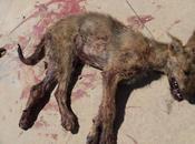 urgente!! acogida ayuda todo tipo para cachorro galgo atropellado.