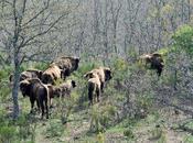 Cebrián Mudá Reserva Natural Bisonte