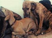 cachorros galgo abandonados menos horas...(ciudad real)