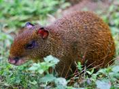 Guatusa, enorme roedor bosque seco
