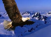 Como águila