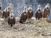 Buitres cuervos
