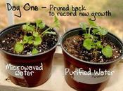 agua calentada microondas, mata plantas.