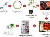 Alimentos transgénicos frente enfermedades: vacunas futuro