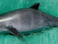 vaquita marina enfrenta extinción inminente ¿puede salvada?