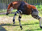 Okapi, jirafa cebra cuello corto
