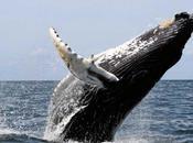 Algunas ballenas tienen hasta bazos