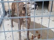 urgente!! ayuda para salvar seis galgos perrera córdoba.