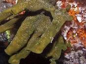 Nombres aborigenes australianos para nuevas especies esponjas