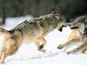 interior lobos luchando