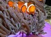 Buscando Nemo escabrosa realidad sexual peces payaso