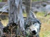 Warriors Wolves (Guerreros lobos)