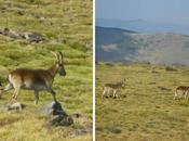 Cabras montesas Sierra Nevada