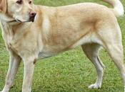 perro labrador, razas populares.
