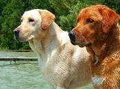 Como perro Labrador Retriever