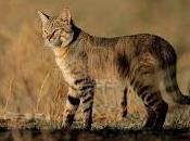 origen Gato doméstico