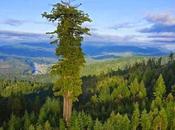 Hyperion, árbol vivo conocido alto mundo