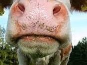 vaca parcela lado