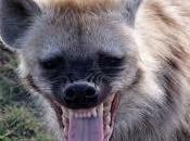 Soñar hienas: Conoce interpretación significado