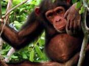 Conferencia: reto conservación chimpancés: labor oportunidades voluntariado