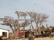 Viajar baobabs africanos: árbol milenario