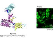 Nanosensor creado Chile mide primera metabolismo mitocondrial células individuales