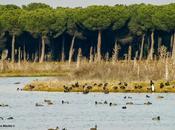 Lagunas Raso Portillo. Avutardas (Otis tarda)